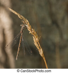 Golden Damselfly Macro - Macro of a gold damselfly hanging...