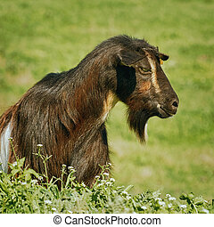 Portrait of Billy Goat - Portrait of Black Billy Goat...