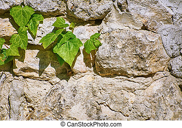 Green English Ivy on the Old Stone Wall