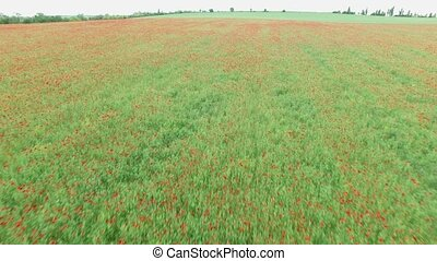 Aerial. Field with poppies - Aerial. Field full of red...