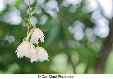 Elaeocarpus hainanensis or Elaeocarpus grandifloras flower...