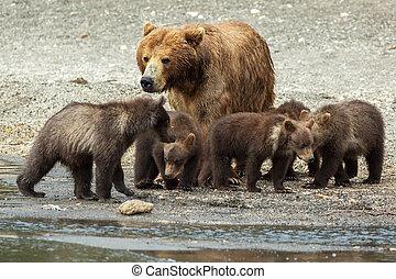 marrón, oso, con, Cachorros, en, el, orilla, de,...