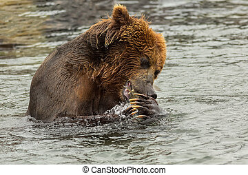 Brown bear eating fish caught in Kurile Lake Southern...