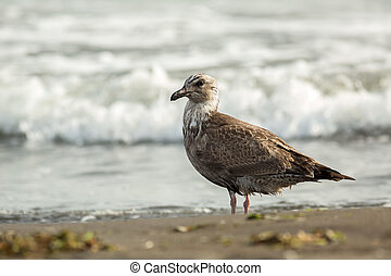 Pacific Gull on the shore of Ocean. - Pacific Gull on the...