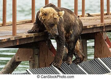 joven, marrón, oso, Miradas, presa, en, cerca, a,...