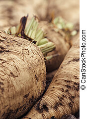Harvested sugar beet crop root on the ground, selective...