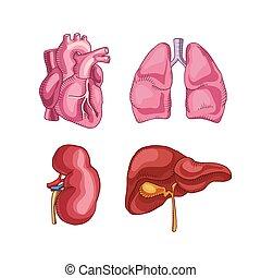 human organs. heart, liver, kidneys, lungs.