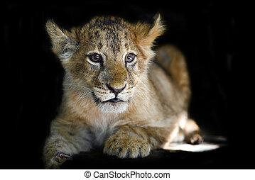 Little lion cub on black background - Close little lion cub...