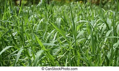 Vibrant background of lush blades of green grass in a meadow...
