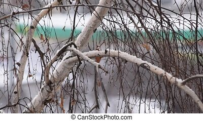 Slanting snow falls on background of leafless birch tree crown in city