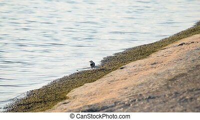 White wagtail walks along concrete coastline foraging on the...