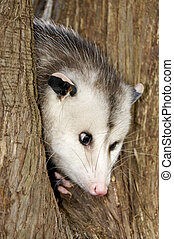 Possum in a Tree - A possum Peeking out from a tree.