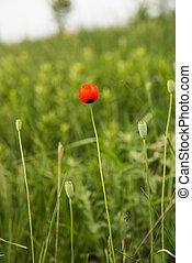 Poppy growing in the meadow