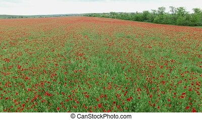Aerial. Field with poppies - Aerial. Summer landscape, poppy...