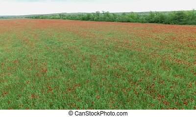 Field full of red poppies - Aerial. Summer landscape, poppy...