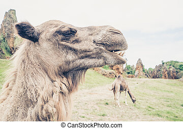 Camel in close-up - Close-up of camel on field