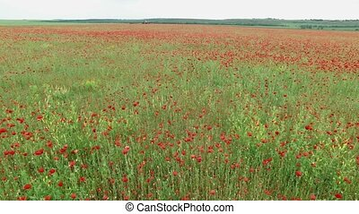 Field with poppies - Aerial. Summer landscape, poppy flowers...