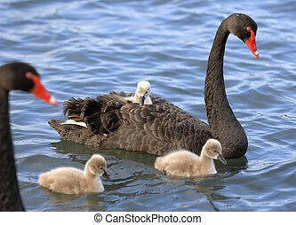 A baby black swan chick hitches a ride on its mother