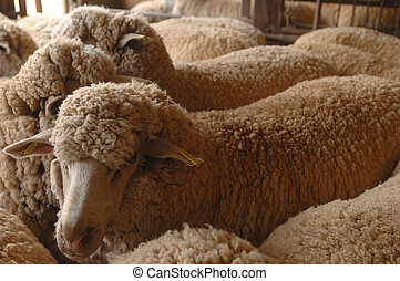 Shearing sheep - Sheep waiting in a holding pen before being...