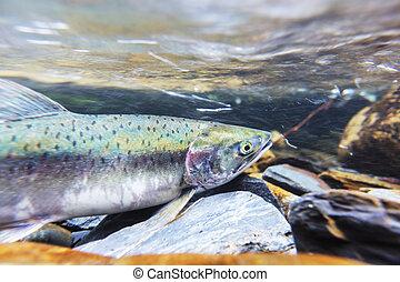 Spawning salmon - salmon spawning