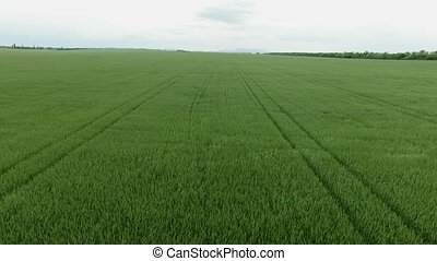 Aerial. Green field - Aerial. Field of green wheat swaying...