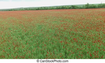 Aerial. Field with poppies - Aerial. Red poppies in the...