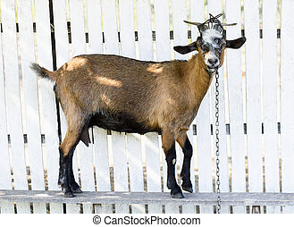 Brown goat on a white wooden fence, looking towards camera -...