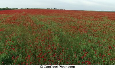 Field full of red poppies - Aerial. Landscape with thousands...
