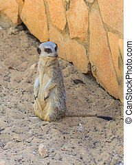 meerkat standing on the sand - meerkat standing afternoon on...