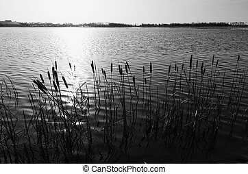 cattails at a lake - monochrome image of cattails in...