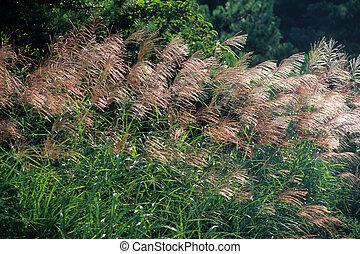 Flyaway winning Japanese pampas grass