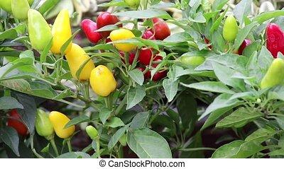 chili on plant