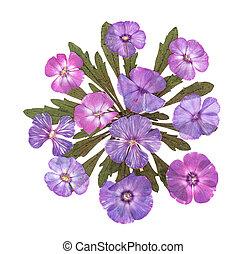Pressed phlox applique - Pressed bright pink flowers phlox...