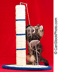 Curious siberian kitten on the scratching post over red...