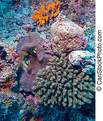 Pair of Clown Fishes near Anemone - Anemonefish (Amphiprion...