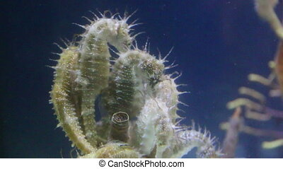 Seahorses clump together - Shortsnouted seahorses in group...