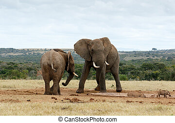 Stand OFF African Bush Elephants - The African bush elephant...