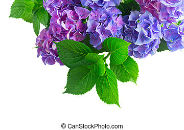 blue and violet hortensia flowers - blue and violet...