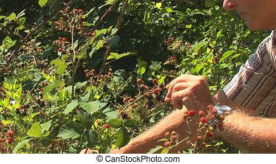picking blackberries part II - senior man picking and eating...