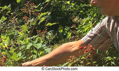 picking blackberries part I - senior man picking and eating...