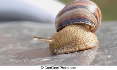 crawling snail closeup - snail crawled out of the sink and...