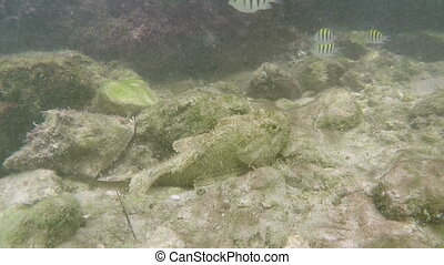 Ambush predator fish lurking - Spotted scorpion fish Ambush...