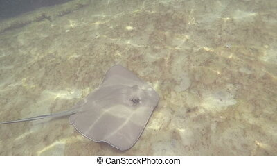 Stingray swimming in the ocean - Florida Keys Stingray...