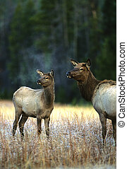 Cow and Calf Elk in Frosty Meadow - a cow elk and her calf...
