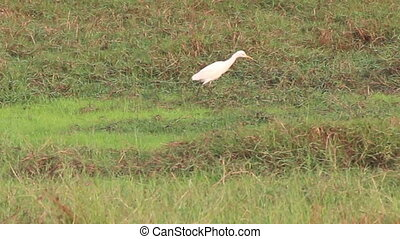 Egrets in paddy field - Cattle Egrets walking through paddy...