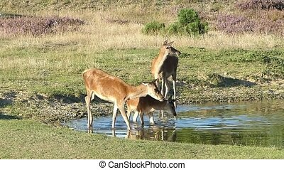 Doe Family Entering a Pond - A doe family prepares to take a...
