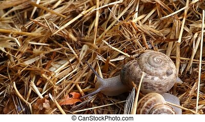 crawling snail closeup - Garden snail crawling on the straw...