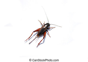 Cricket - A cricket isolated against a white background.