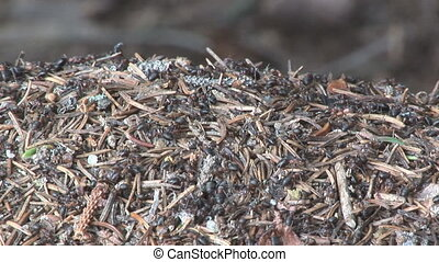 nature series - ant hill 002 - lots of busy ants on an...