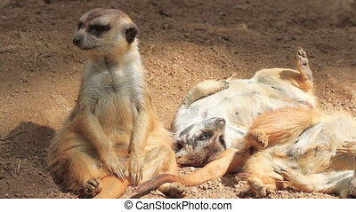 Meerkat family - Cute Meerkat family group at play while...